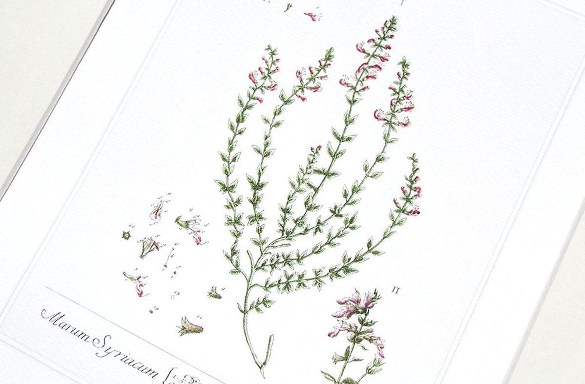 Thym Herbe Illustration Botanique